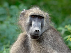 Check out out this interesting article by Bruce Arnott: The Incredible Eyesight of Baboons